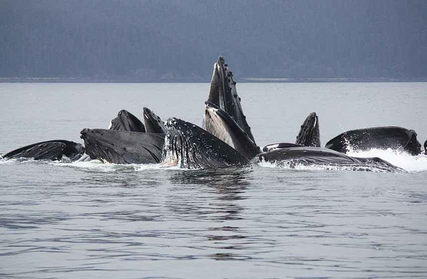 Wildlife, like these bubble feeding whales, is a highlight of any Alaska cruise