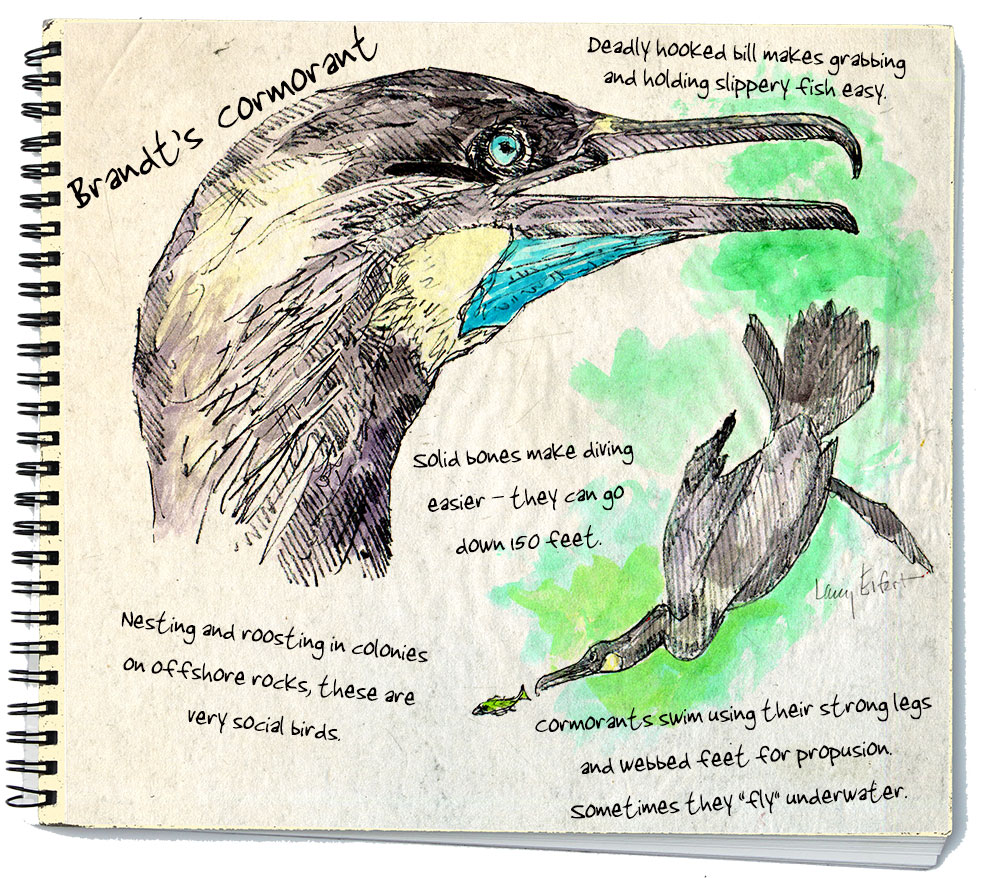 Brandt's Cormorant is one of three types of cormorant found in the Salish Sea.