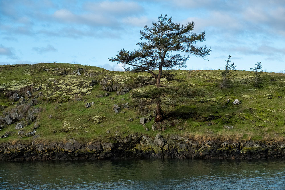 One of the scrappy trees on the wind-blown island on the west flank of Kimball Preserve